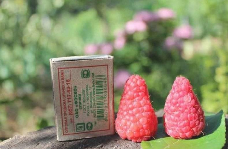 Агроприёмы успешного выращивания малины сорта патриция