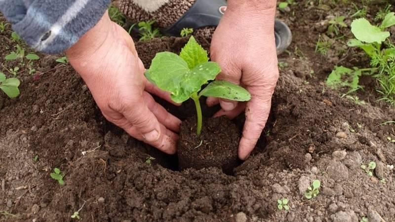 Как и чем обработать землю для огурцов в теплице перед посадкой?