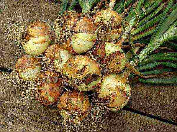 Лук-севок: когда сажать лук и как ухаживать в открытом грунте