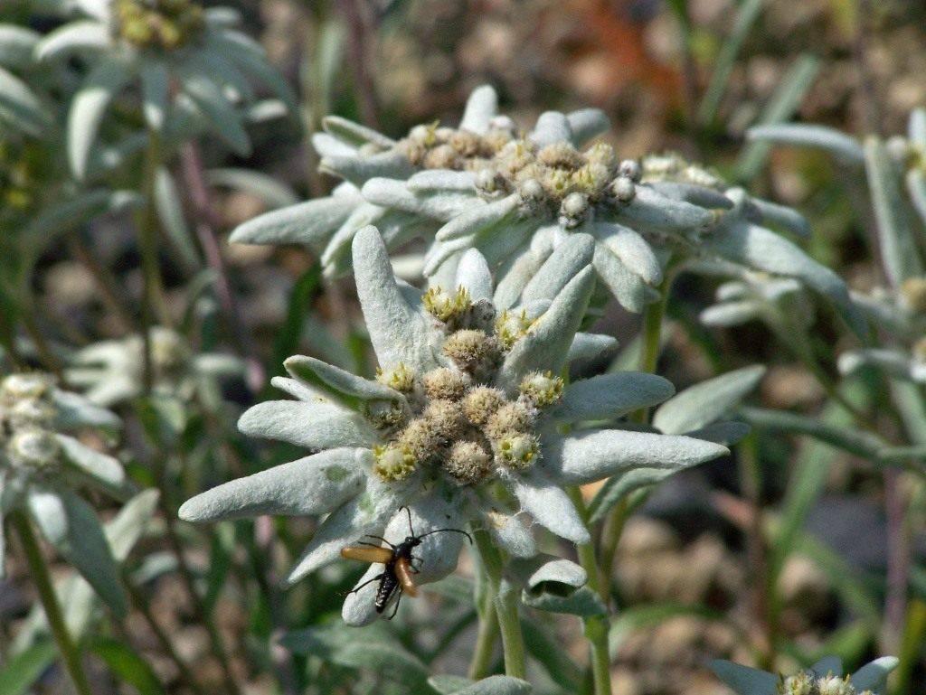 Описание альпийского горного эдельвейса, выращивание из семян и уход