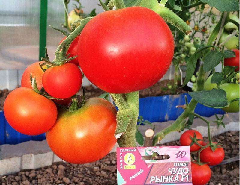 Особенности выращивания и характеристики крупноплодного высокоурожайного сорта томата «чудо земли»
