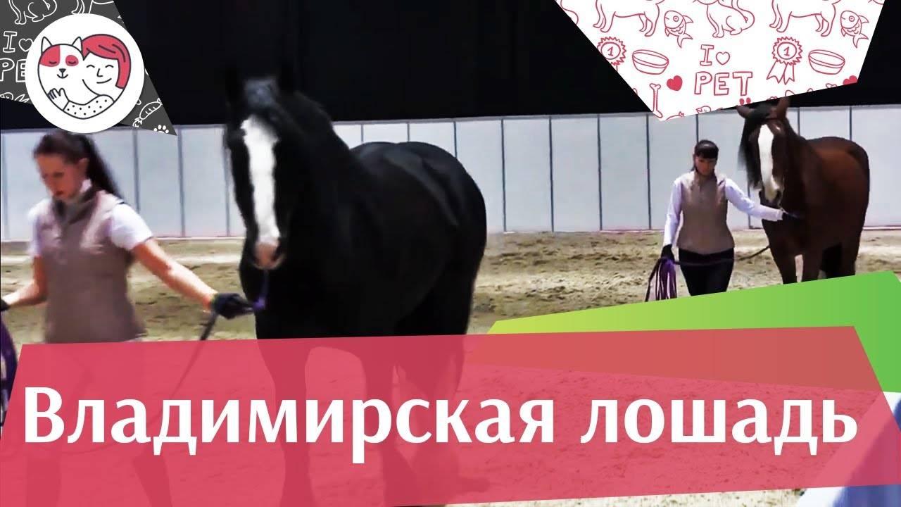 Владимирский тяжеловоз: описание породы