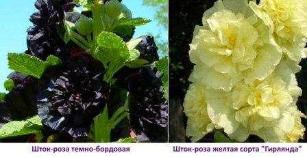 Особенности выращивания розы-шток (мальвы) из семян