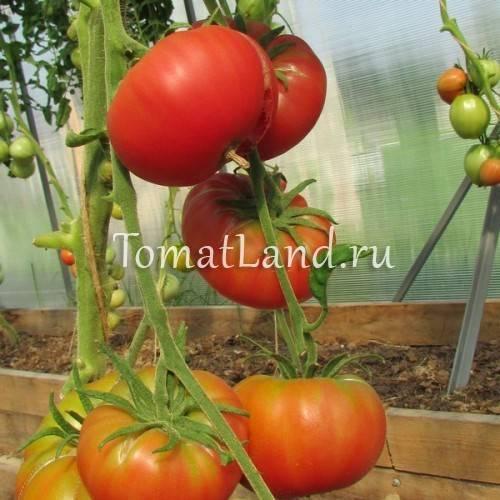 Дикая роза — вкусная красавица на вашем участке: описание сорта, особенности выращивания томата