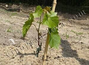 Как правильно посадить виноград весной саженцами: пошаговая инструкция