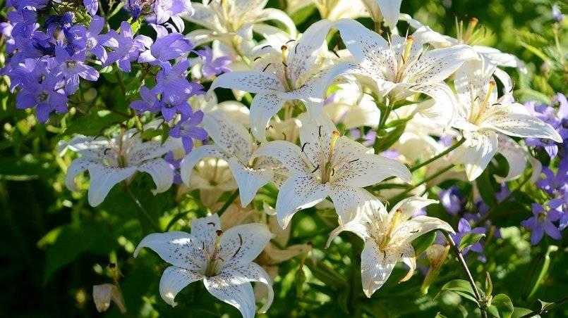 Посадка и уход за лилией в открытом грунте: рекомендации и советы