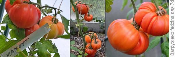 Сорт мамстон: подробная характеристика высокоурожайного томата