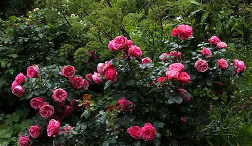 Роза леонардо да винчи: фото и описание сорта, отзывы, посадка и уход, выращивание