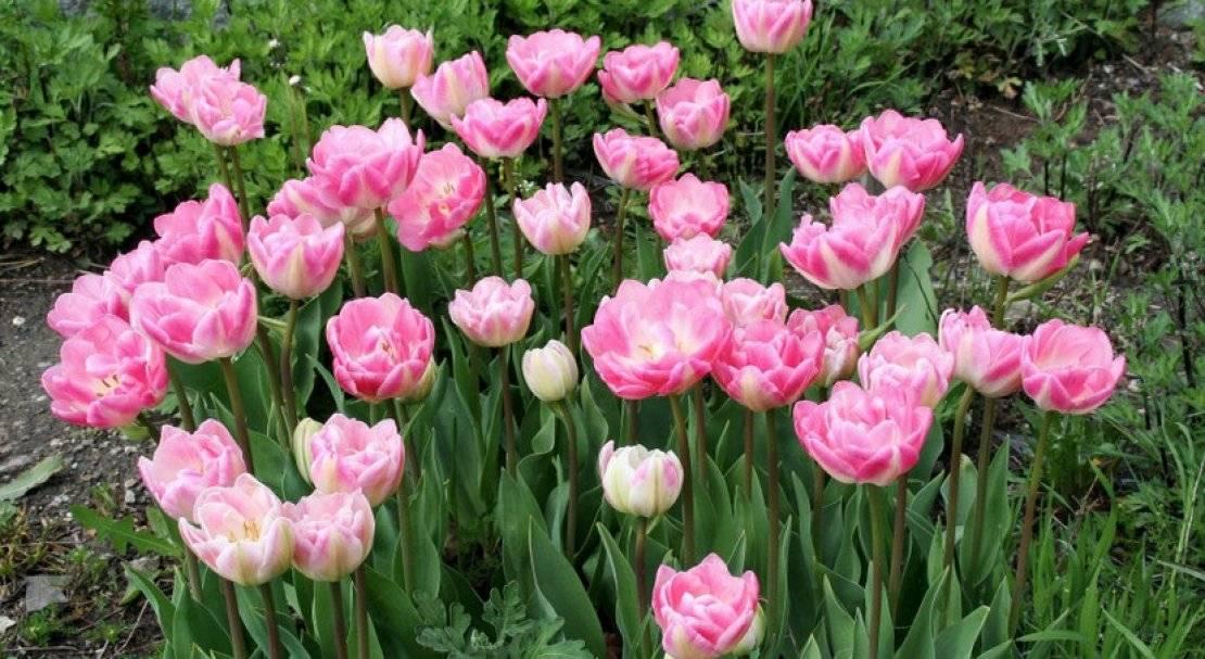 Тюльпаны – виды и сорта
