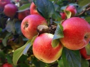 Новейшая яблоня мечтательница