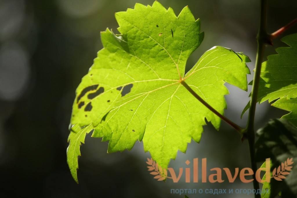 Почему листья винограда становятся светло-зеленого цвета