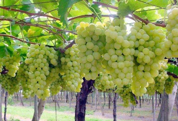 Описание сорта винограда Супер Экстра, особенности выращивания и ухода