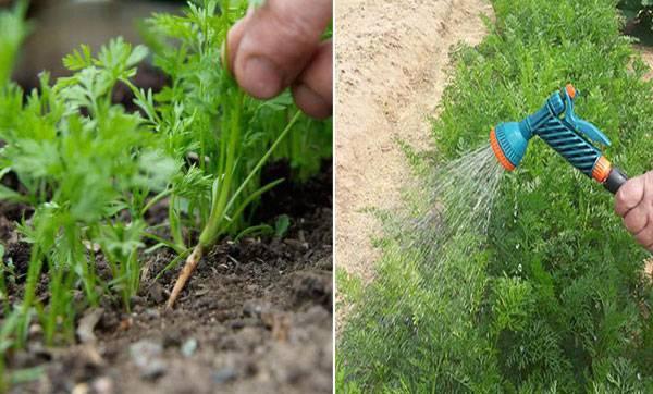 Почему плохо растёт морковь?