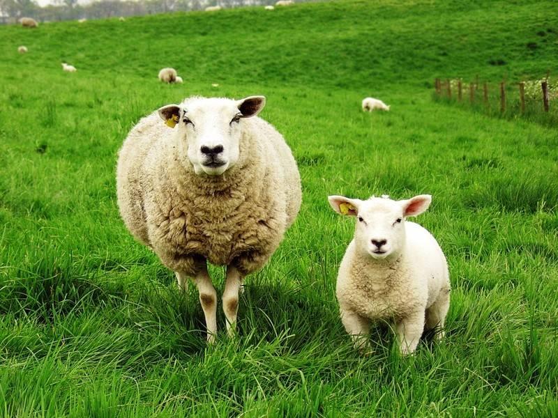 Как происходит случка у овец: подготовка и тонкости процесса спаривания