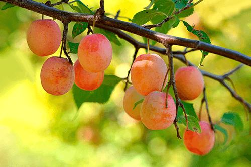 Описание сливы сорта этюд, опылители и тонкости выращивания