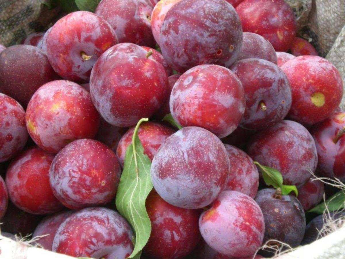 Как сажать, выращивать и формировать куст ампельных томатов