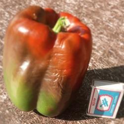 Описание крупноплодного сладкого перца оранжевый бык. тонкости ухода, реальные отзывы фермеров
