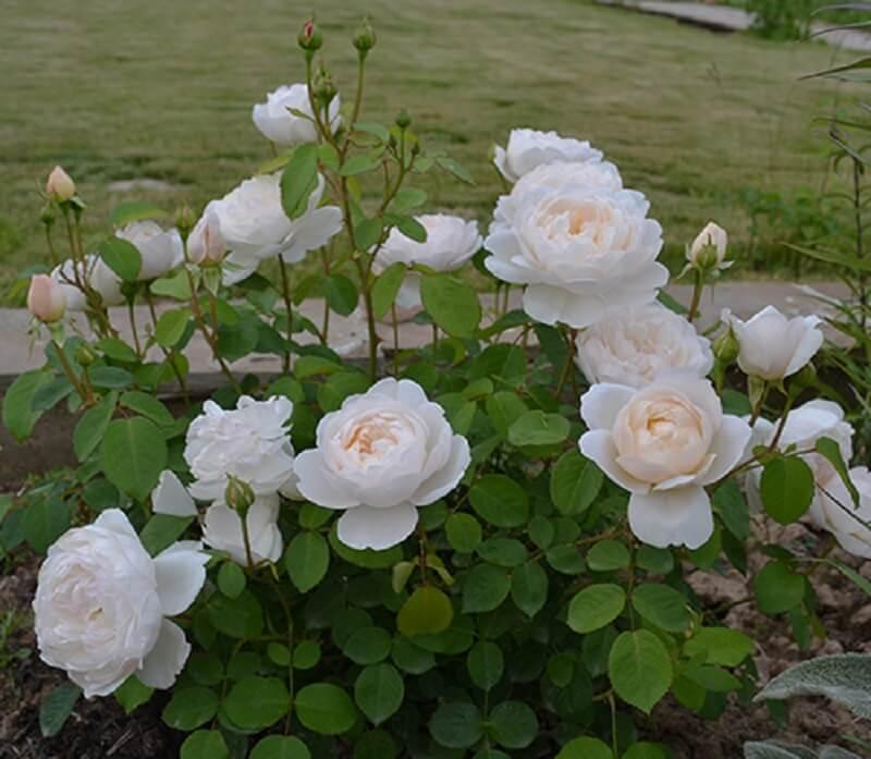 Роза пэт остин (pat austin) — описание сорта