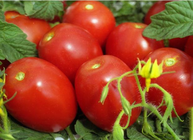 Томат сорта «челнок» – идеальный выбор для маленького огорода