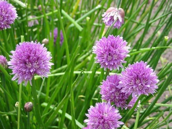 Анзур — гигантский, горный лук-чеснок, выращивание