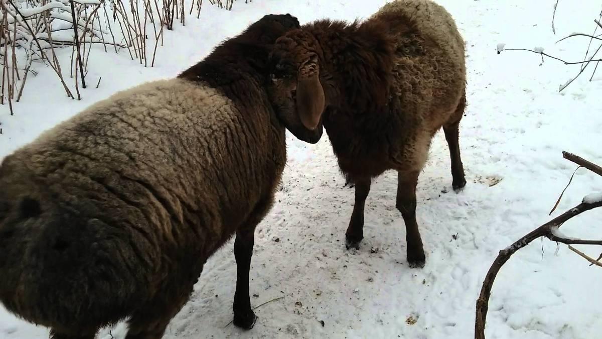 Топ-5 молочных пород овец и их основные показатели, развитие отрасли в России