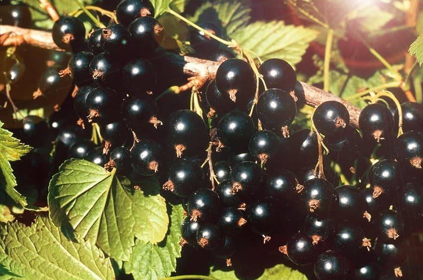 Описание и характеристики сорта смородины Изюмная, посадка и уход