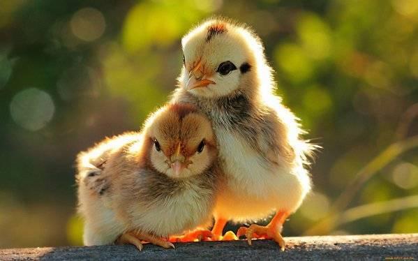 Как определить пол цыпленка: 10 лучших методов, отличия в разном возрасте