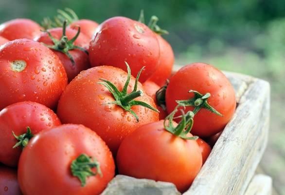 Томат «гигант новикова» — описание сорта, фото, отзывы и рекомендации по выращиванию от опытных садоводов