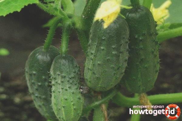Теневыносливые и холодостойкие сорта огурцов: описание и характеристики с фото