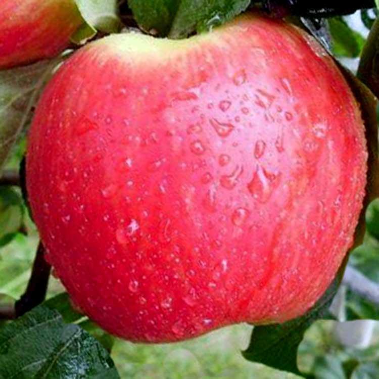 Летняя яблоня авенариус