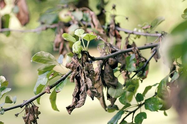 Почему сохнет войлочная вишня и как бороться с монилиозом