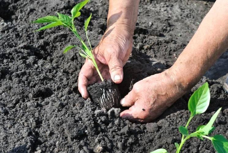 Когда высаживать рассаду перца в открытый грунт в июне 2020 года и как ухаживать потом?