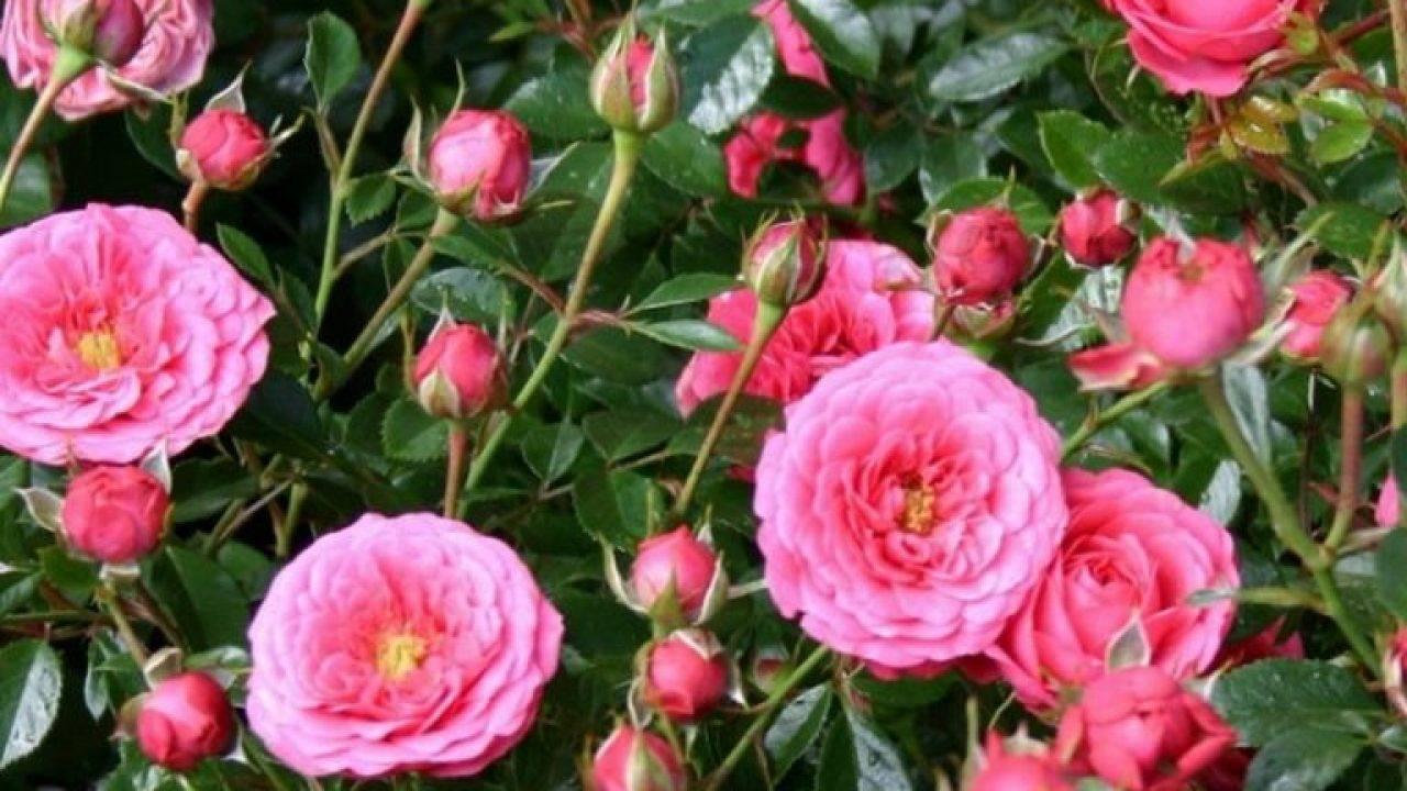 Роза гранд амор