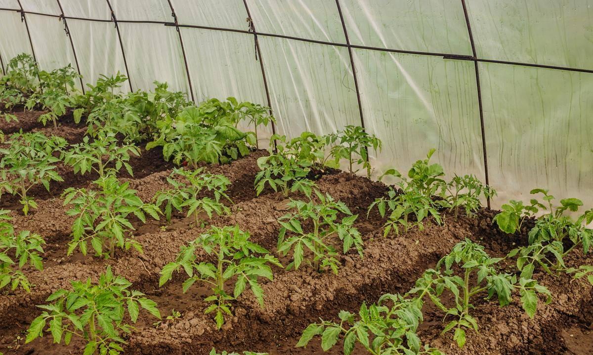 Как правильно сажать помидоры в теплице чтобы был большой урожай