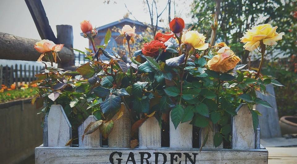 Розы: подготовка и укрытие на зиму, осенняя обрезка