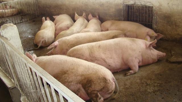 Самые большие породы свиней в мире