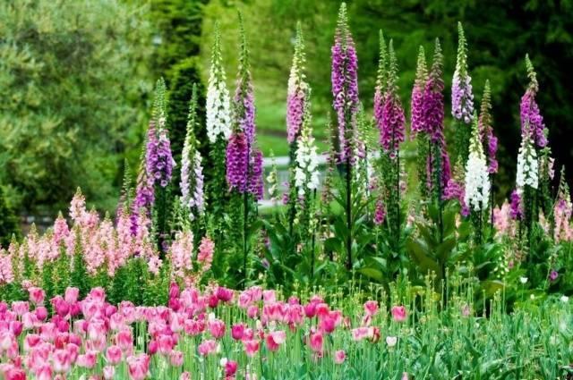 Выращивание цветов сальвия из семян