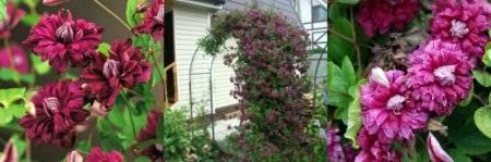 Очарование клематиса: сорт пурпуреа плена элеганс