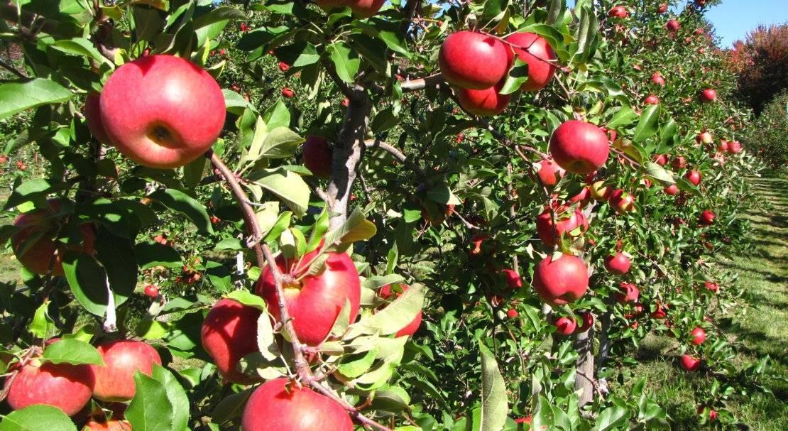 Обильный урожай и вкусные плоды — яблони сорта яндыковский