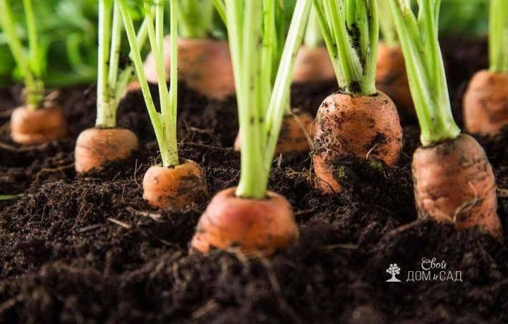Как часто поливать морковь в открытом грунте после посадки