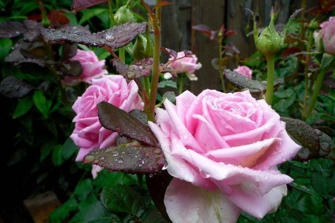 Ароматная красавица роза аква: описание и фото цветов, а также выращивание и использование в ландшафтном дизайне
