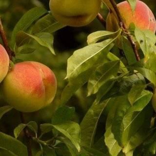 Персик сорта редхейвен – сладкий аромат жаркого лета