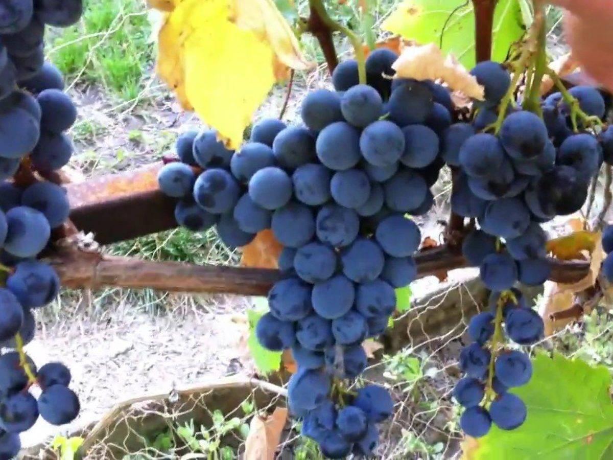 Винограды «магарача»: описание трёх известных сортов – цитронный, ранний и подарок магарача