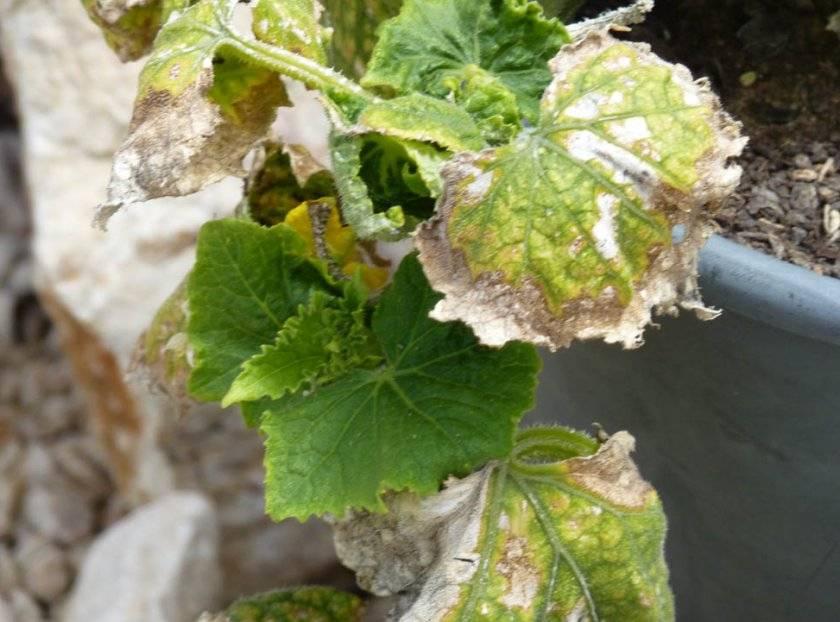 Выясняем причины почему у рассады огурцов сохнут края листьев, желтеют и скручиваются листья? что делать в таком случае