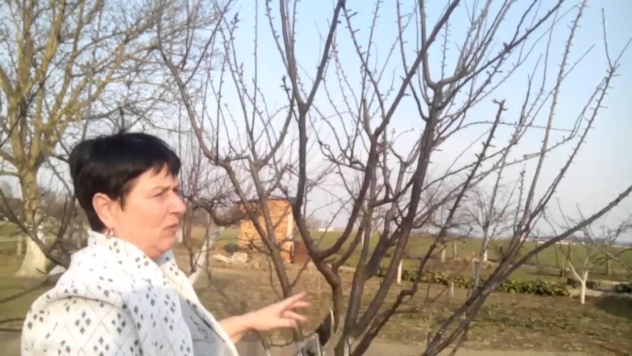 Правильная обрезка сливы – советы для начинающих (схемы, фото, видео)
