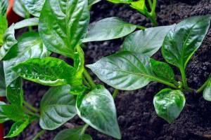 Почему закручиваются листочки у рассады перца