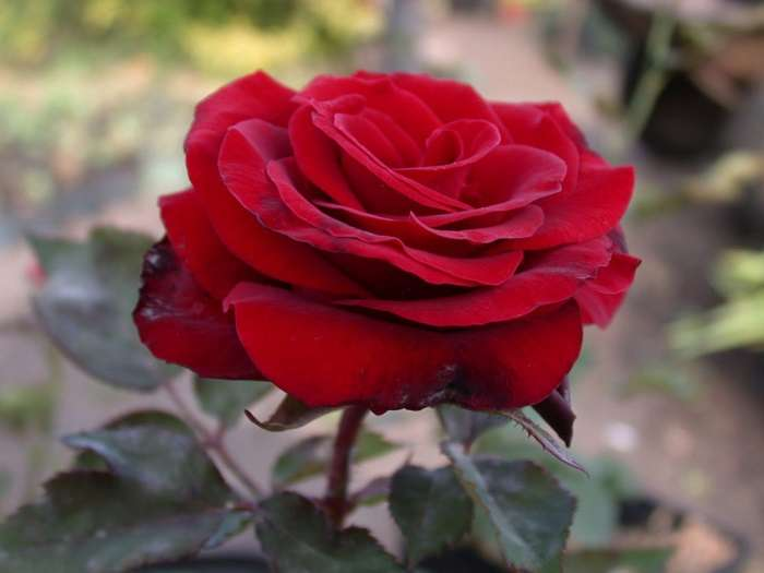 Как ухаживать за розами в саду