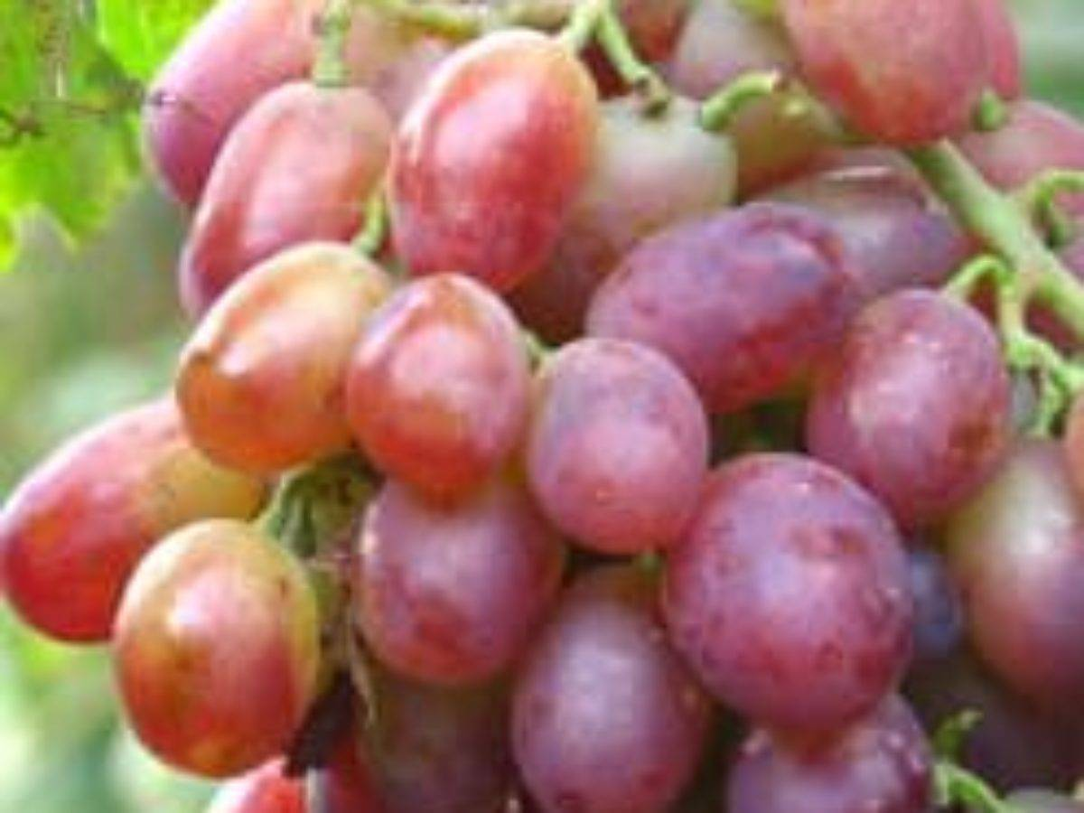 «гарольд» — сверхранний виноград