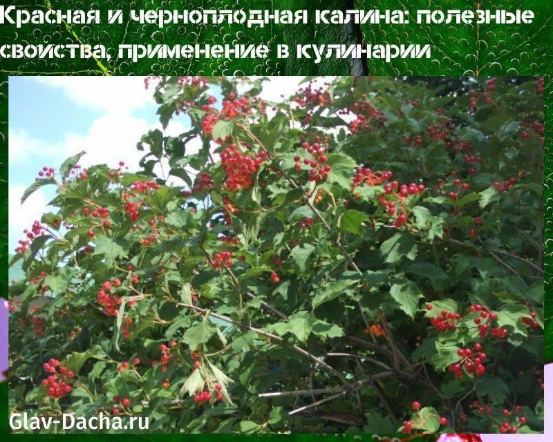 Лечебные свойства калины: как приготовить лекарства изкоры, плодов, соцветий илистьев