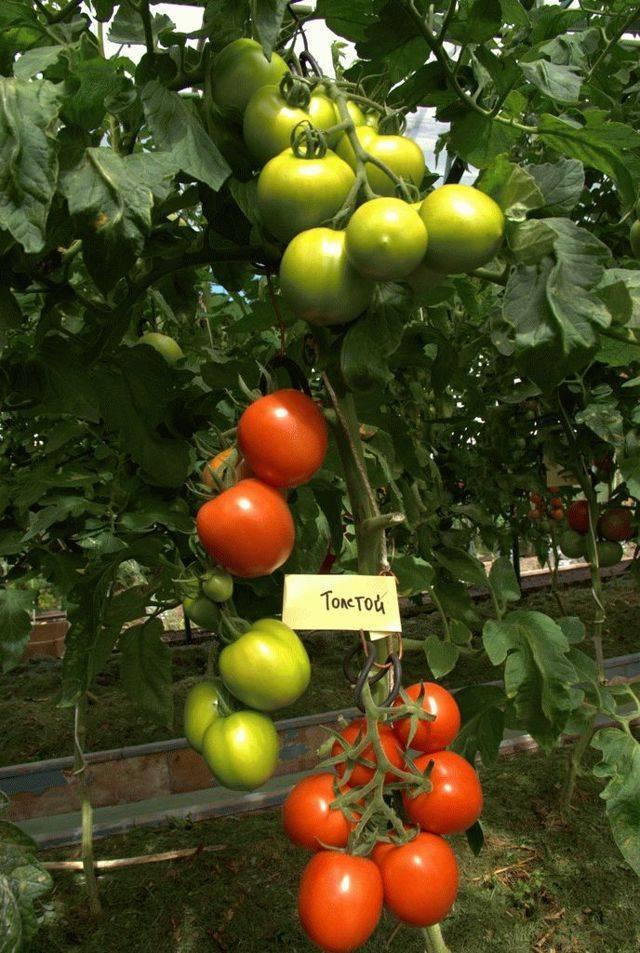Расскажем и покажем как выращивать томат «взрыв» и что делать, чтобы получить богатый урожай помидоров